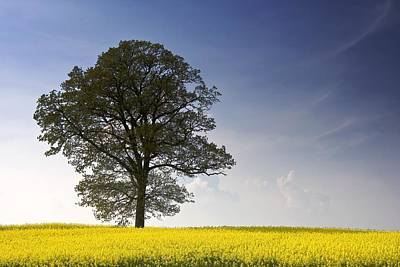 Tree In A Rapeseed Field, Yorkshire Print by John Short