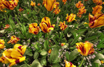 Canada Photograph - Tulips by James Ingham