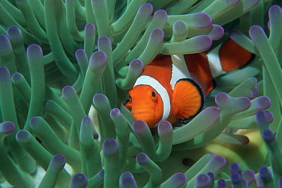 Clown Anemonefish Photograph - Western Clown Anemonefish by Georgette Douwma