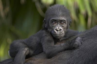Gorilla Photograph - Western Lowland Gorilla Gorilla Gorilla by San Diego Zoo