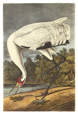 Crane Painting - Whooping Crane by John James Audubon