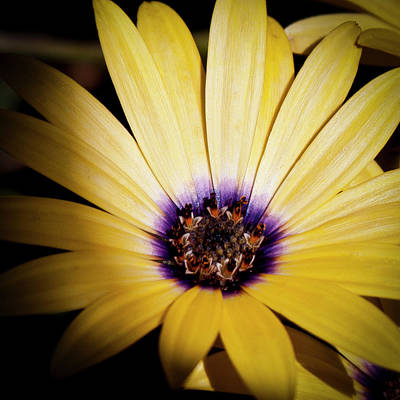 Yellow Daisy Print by David Patterson
