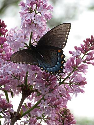 Butterfly Photograph - Butterfly by Rebecca Overton