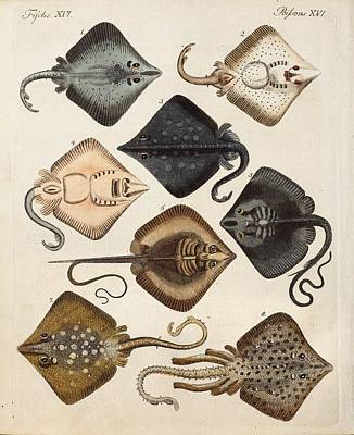 Childrens Book Photograph - 1795 Decorative Marine Rays Illustration by Paul D Stewart