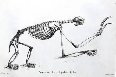1812 Sloth Skeleton By Cuvier Print by Paul D Stewart