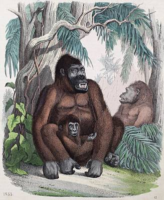 1853 Possible First Gorilla Illustration Print by Paul D Stewart