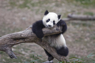 A Baby Panda Plays On A Branch Print by Taylor S. Kennedy