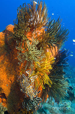 A Colony Of Feather Stars Attached Print by Steve Jones
