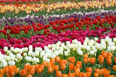 Woodburn Photograph - A Tulip Field by Craig Tuttle