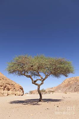 Balance In Life Photograph - Acacia Tree  by Roberto Morgenthaler