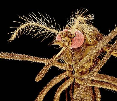 Asian Tiger Mosquito, Sem Print by Susumu Nishinaga