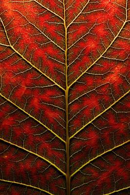 Backlit, Close Up Of A Smoke Tree Leaf Print by Joe Petersburger