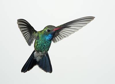 Feather Photograph - Broadbill Hummingbird In Flight by Gregory Scott