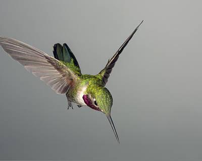 Hummingbird Photograph - Broadtail Hummingbird by Gregory Scott