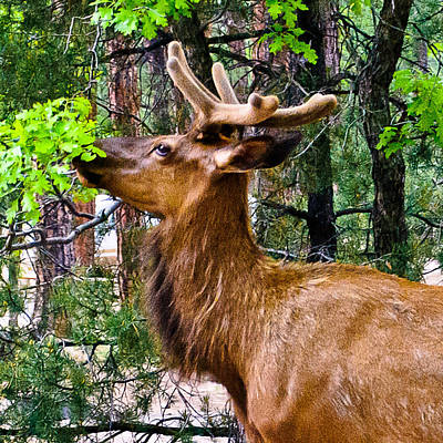 Browsing Elk In The Grand Canyon Print by Bob and Nadine Johnston