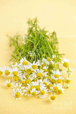 Yellow Photograph - Chamomile Flowers by Elena Elisseeva