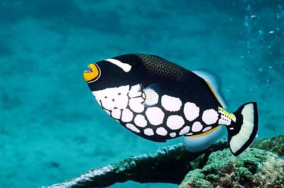 Clown Triggerfish Print by Georgette Douwma
