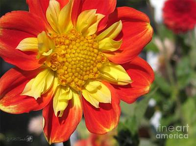 Mccombie Photograph - Dahlia Named Pooh by J McCombie