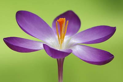 Dutch Crocus Crocus Vernus Flower Print by Silvia Reiche