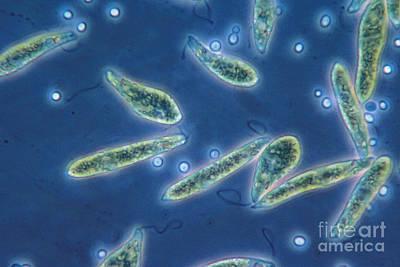 Unicellular Alga Photograph - Euglena Gracilis, Lm by Eric V. Grave