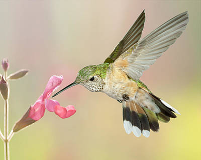 Flower Photograph - Female Broadtail Hummingbird by Gregory Scott