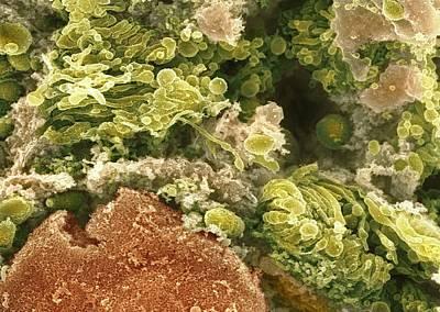 Cristae Photograph - Golgi Apparatus, Sem by Dr David Furness, Keele University