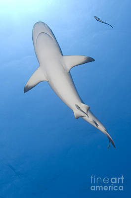 Gray Reef Shark With Remora, Papua New Print by Steve Jones