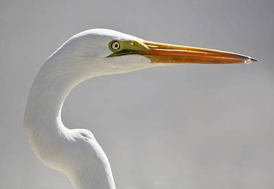 Great White Egret Print by Paulette Thomas