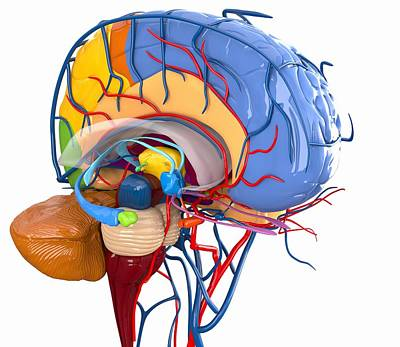 Human Brain Anatomy, Artwork Print by Roger Harris