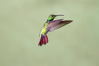 Colored Background Photograph - Hummingbird by David Tipling
