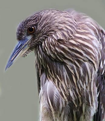 Juvenile Black Crowned Night Heron Print by Paulette Thomas