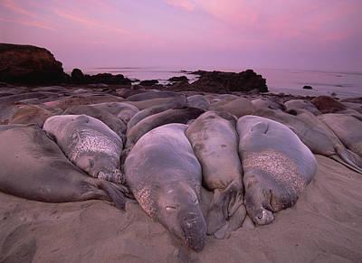 Of Big Sur Beach Photograph - Northern Elephant Seal Mirounga by Tim Fitzharris
