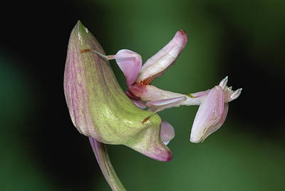 Orchid Mantis Hymenopus Coronatus Print by Thomas Marent