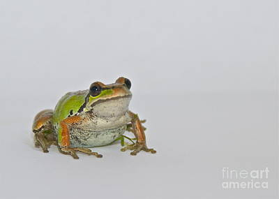 Pacific Tree Frog Print by Sean Griffin