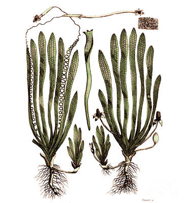 Page From Darwins Botanic Garden Print by Science Source