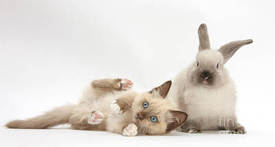 Ragdoll-cross Kitten And Young Print by Mark Taylor
