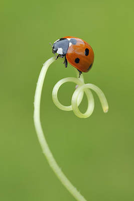 Seven Spot Ladybird On Tendril Print by Martin Ruegner