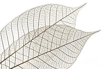 Dye Photograph - Skeleton Leaves by Elena Elisseeva