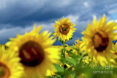 Sunflowers Print by Bernard Jaubert