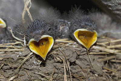Swallow Chicks Photograph - Swallow Chicks by Georgette Douwma