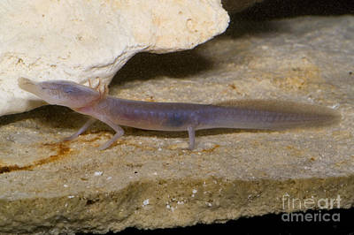 Texas Blind Salamander Print by Dante Fenolio