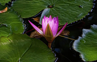Water Lily Print by Robert Ullmann