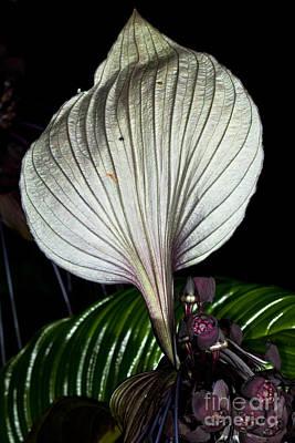 White Bat Plant Print by Johan Larson