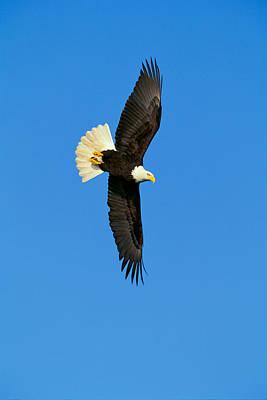 Alaska Photograph - Bald Eagle by John Hyde - Printscapes