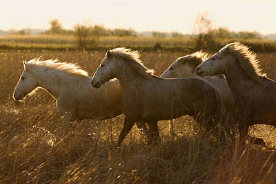 Camargue Horse Equus Caballus Group Print by Konrad Wothe