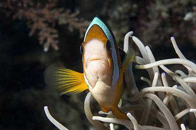 Clown Fish Photograph - Clark's Anemonefish by Lea Lee