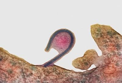 Extrusion Photograph - Ebola Virus, Tem by London School Of Hygiene & Tropical Medicine