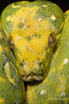 Python Photograph - Green Tree Python by Dante Fenolio