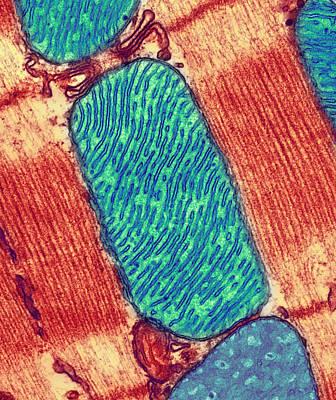 Cristae Photograph - Mitochondrion, Tem by Thomas Deerinck, Ncmir