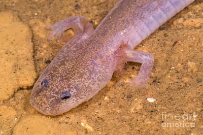 Salamanders Photograph - Ozark Blind Cave Salamander by Dante Fenolio